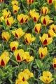 Stresa Tulip