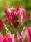 Tulip 'Esperanto' (Pack of 15 Bulbs)