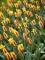 Giuseppe Verdi tulips