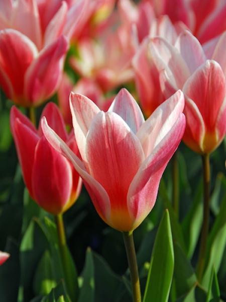 Tulip 'Heart's Delight'