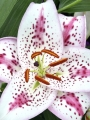Oriental Lily Solution