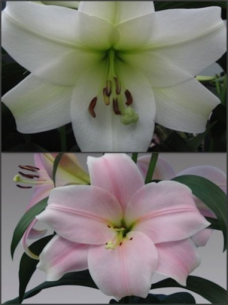 'Trumpet Delight' Lily Bulb Collection (Pack of 10 Bulbs)