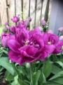Backpacker tulip open