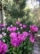 Backpacker tulips planted in a group formation