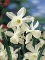 Narcissus 'Thalia' (Pack of 20 Bulbs)