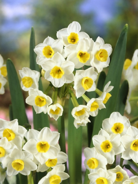 Narcissus 'Avalanche' (Pack of 20 Bulbs)