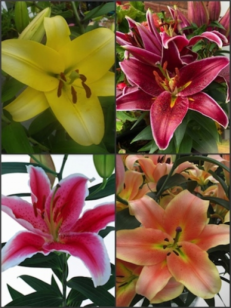 'Colourful Chelsea' Lily Collection (Pack of 20 Bulbs)