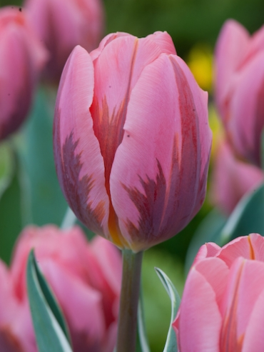 Tulip 'Pretty Princess' (Pack of 15 Bulbs)