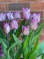 Carre tulip