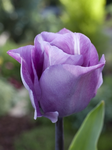 Tulip 'Carre' (Pack of 10 Bulbs)