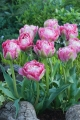 Grouping of Double Sugar Tulip