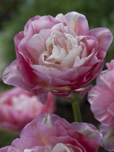 Tulip 'Double Sugar' (Pack of 10 Bulbs)