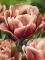 Peach tulip La Belle Epoque