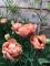 La Belle Epoque Double tulip