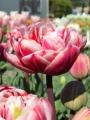 Tulip 'Drumline'