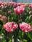Drumline tulip