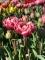 Drumline Double Late tulip