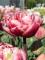 Tulip 'Drumline' (Pack of 15 Bulbs)