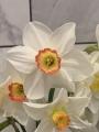 Garden Club of America Daffodils
