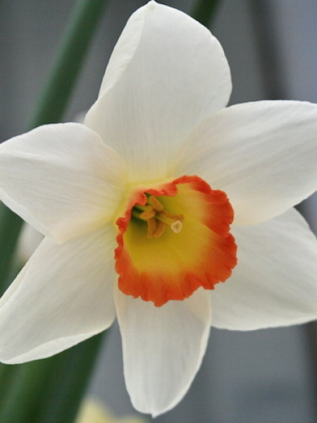 Narcissus 'Garden Club of America' (Pack of 10 Bulbs)