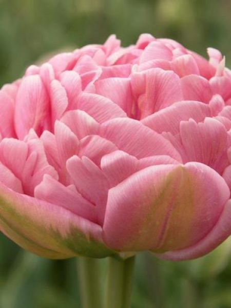 Tulip 'Only Me'