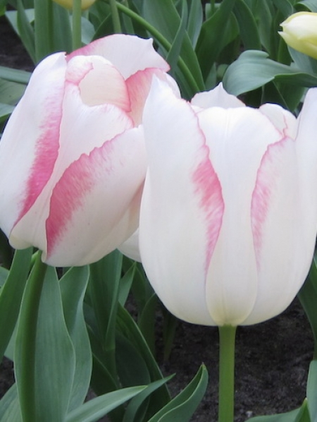 Tulip 'Blushing Girl'