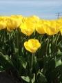 Tulip Yellow Angel
