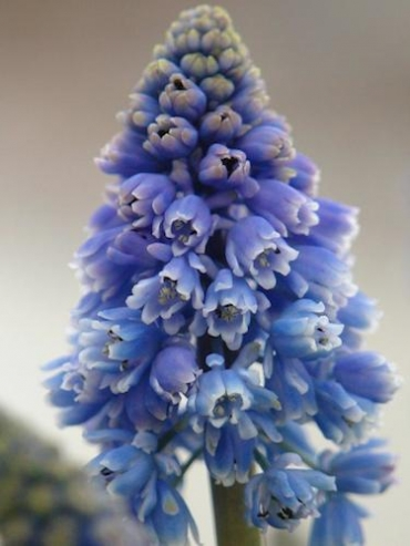 Muscari 'Artist' (Pack of 20 Bulbs)
