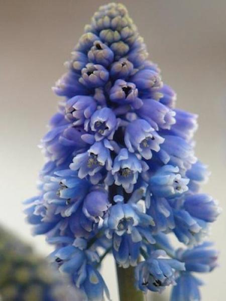 Muscari 'Artist' (Pack of 20 Bulbs)
