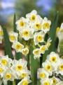 Avalanche Daffodils