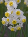 Narcissus 'Avalanche' (Pack of 15 Bulbs)