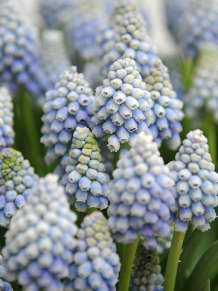 Muscari 'Ocean Magic' (Pack of 20 Bulbs)