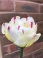 Tulip 'Danceline'