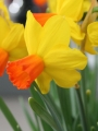Miniature Narcissus 'Velocity' (Pack of 15 Bulbs)