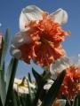 Daffodil Shrike