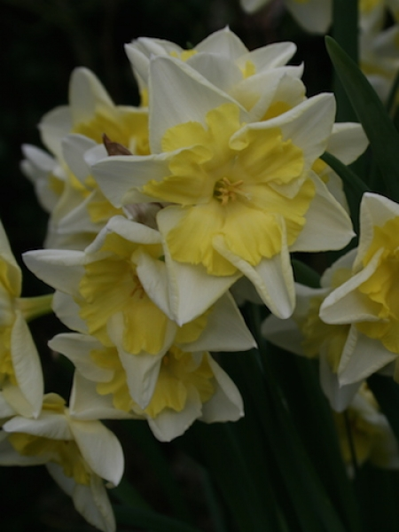 Narcissus 'Prom Dance' (Pack of 20 Bulbs)