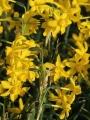 Twinkling Yellow