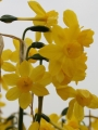 Twinkling Yellow Narcissus
