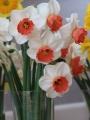 Brooke Ager Daffodil