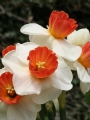 Narcissus 'Brooke Ager' (Pack of 15 Bulbs)