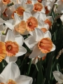 Large Cupped Narcissus Chromacolor