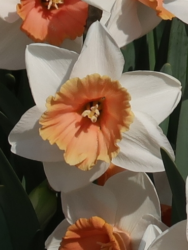 Narcissus 'Chromacolor' (Pack of 15 Bulbs)