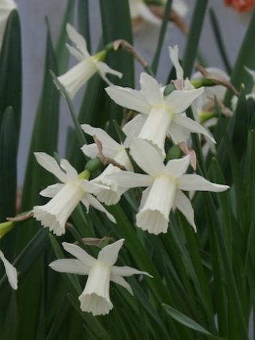 Miniature Narcissus 'Elka' (Pack of 20 Bulbs)