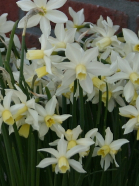 Miniature Narcissus 'Toto' (Pack of 20 Bulbs)