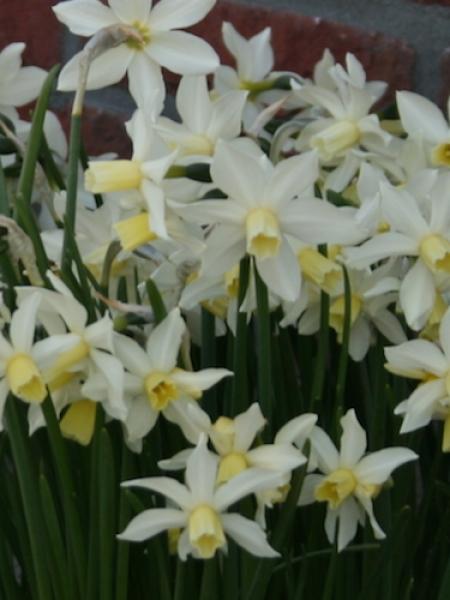 Miniature Narcissus 'Toto'