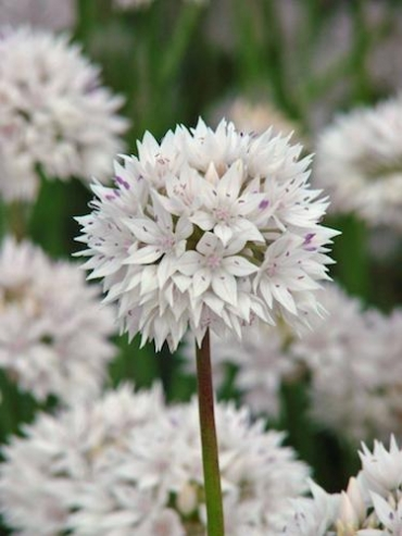 Allium Graceful Beauty (Pack of 10 Bulbs)