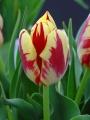 Grand perfection tulipa