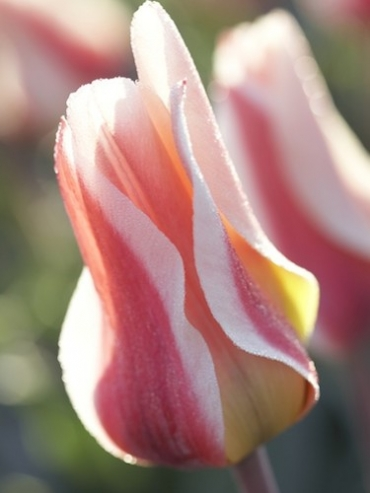 Tulip 'The First' (Pack of 15 Bulbs)