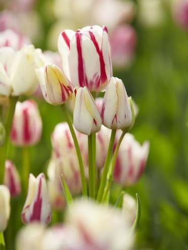 Tulip 'Candy Club' (Pack of 15 Bulbs)