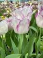 Affaire Tulips